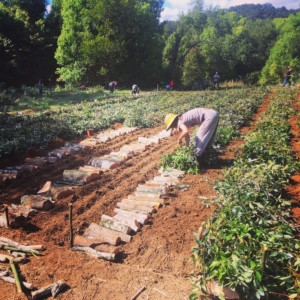 Preparing the seedbed for planting with logs and mulch.