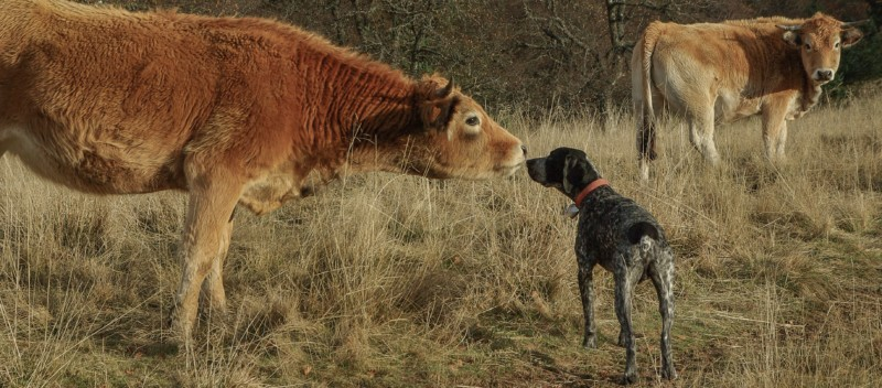 Two cows meeting a dog in a field.
