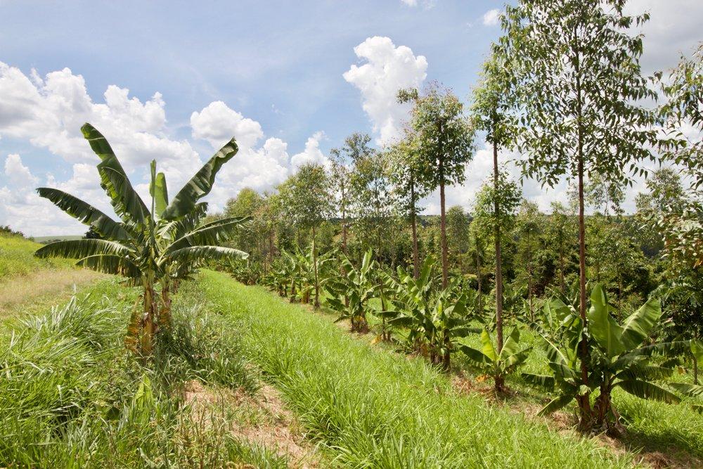 Rows of dry-farmed bananas and eucalyptus line the contours of Fazenda da Toca