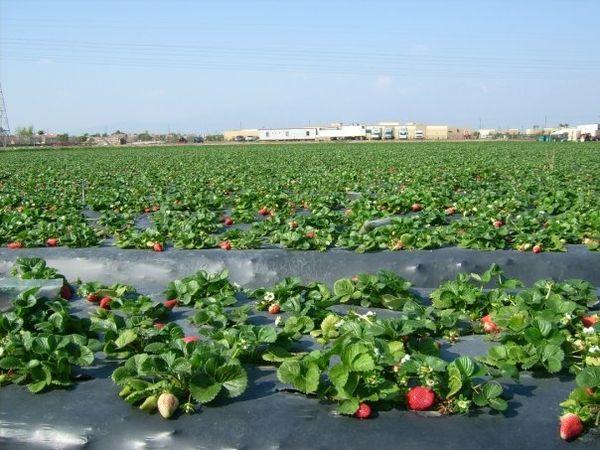 Strawberries growing on black plastic